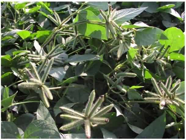 Healthy crop of Urad