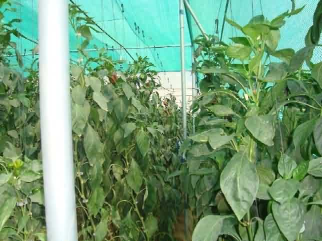 Support system in capsicum crop