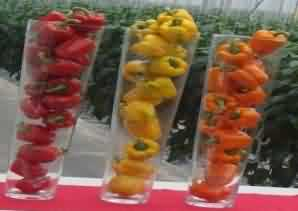 colored capsicum cultivation