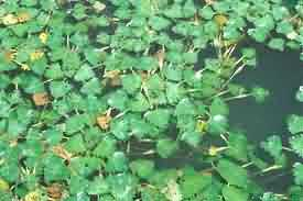 Water chestnut growing in pond