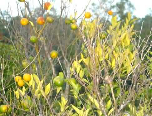 Citrus Dieback Disease