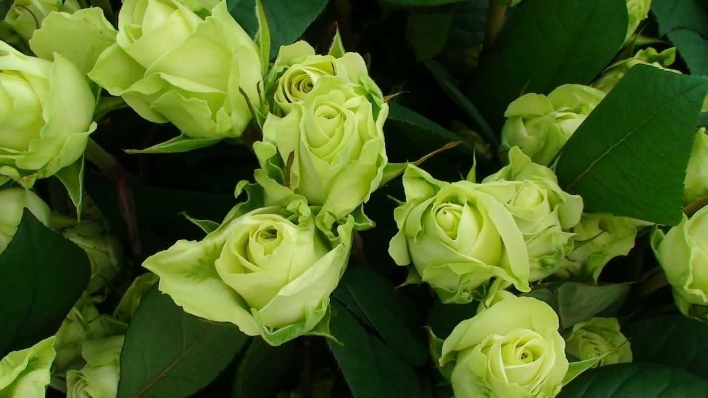 Cut stages of Roses for domestic & export