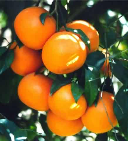 Kinnow mandarin orange cultivation