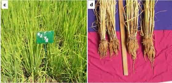SRI plot with profuse tillering of rice cultivar Shalimar-Rice-1