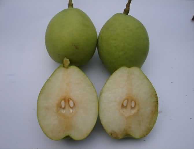 Patharnakh cultivar of Pear