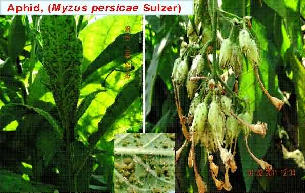Aphid (Myzus persicae Sulzer) disease in tobacco