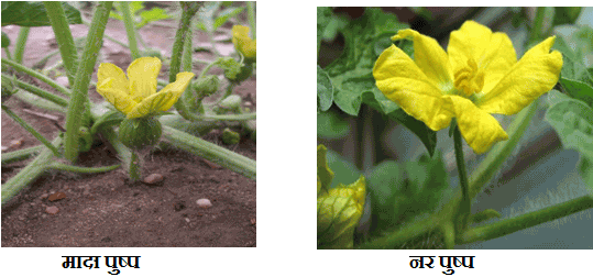 Male and female flowers of watermelon