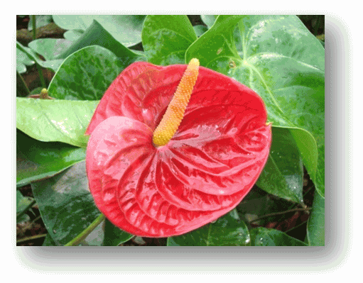 anthurium cut flower for harvest