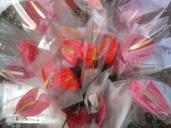 Packaged anthurium cut flowers
