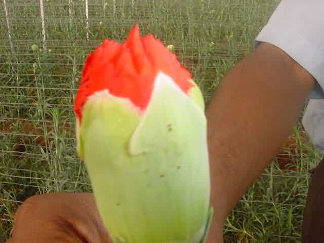 Red spider mite on Carnation bud
