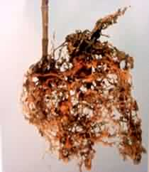 Carnation roots affected by Root Knot Nematode  :