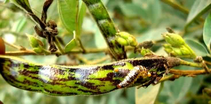 Legume pod borer from the damaged pod