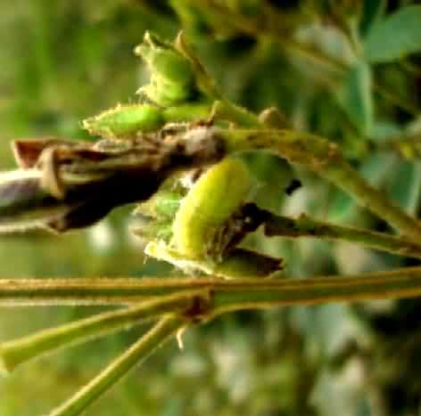 Slug – like larva damaging the floral bud