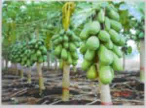 Papaya plants with fruits