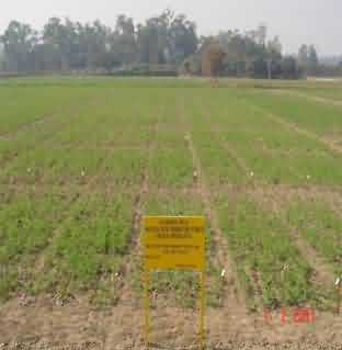 Plant row progeny plots for NSP (Stage 2) in garden pea cv. Pusa Pragati
