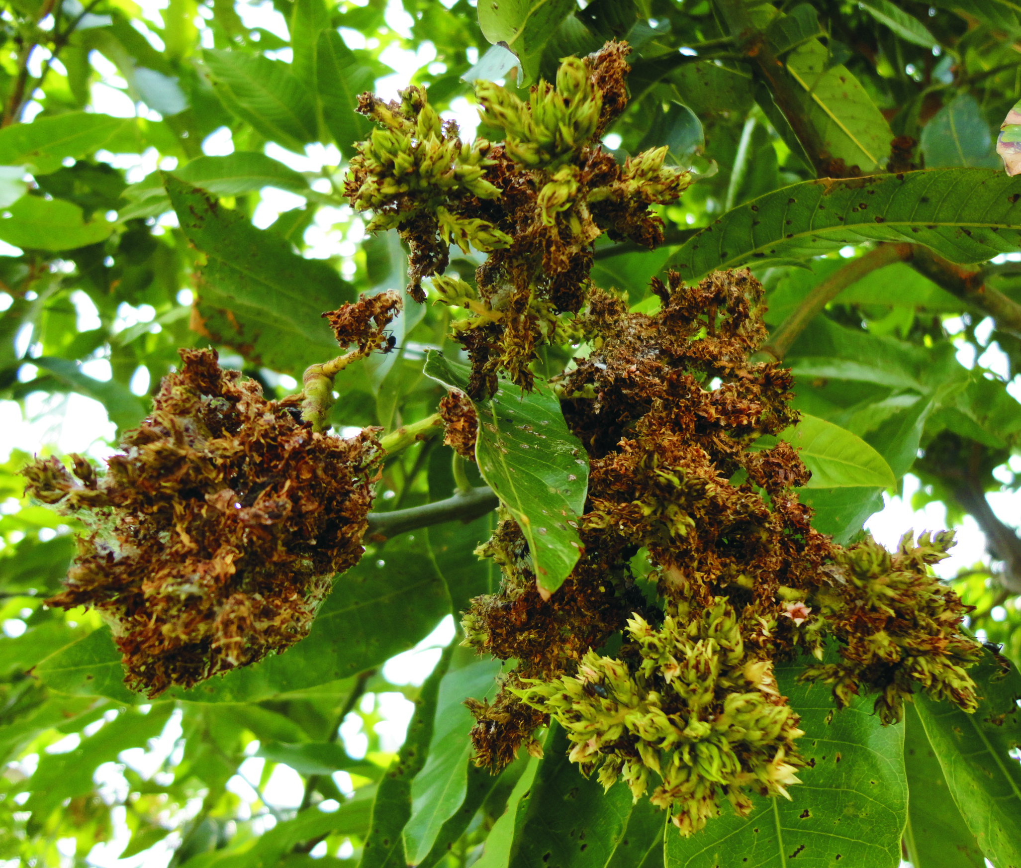 Floral malformation in mango tree