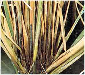 Sheath rot of Rice