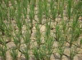 Drought affected rice field