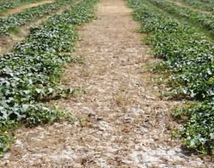 Muskmelon Relay inter crop-one month after wheat harvesting