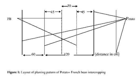 Layout of Potato + French bean intercropping