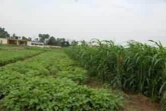Kharif fodder crop Soybean, Rice