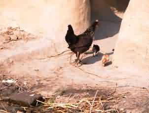 backyard poultry farming a source of better livelihood for rural