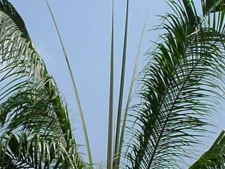 Emergence of spear leaves in oil palm