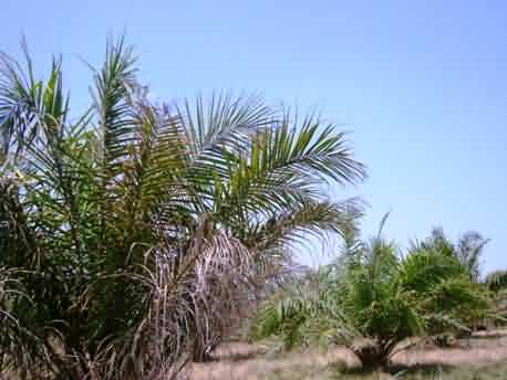 oil palm Wilting and drying of leaves