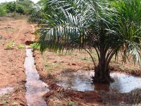 oil palm Basin irrigation