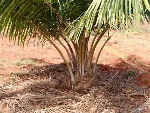 Mulching in oil palm