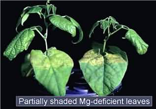 Symptoms of leaf chlorosis in Mg - deficient bean plants grown at high light intensity.