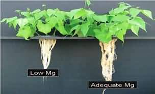 Growth of common bean plants with low and adequate Mg nutrition
