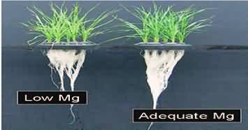 Growth of  wheat plants with low and adequate Mg nutrition