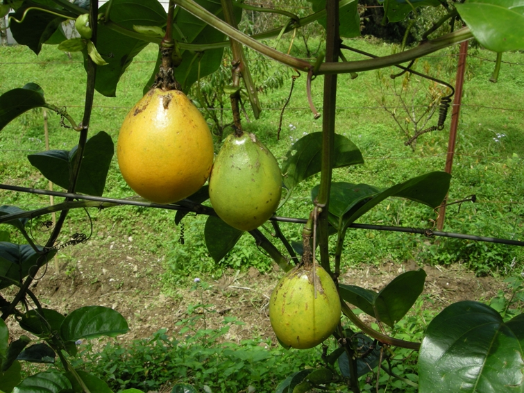 grapple fruit passion fruit tree