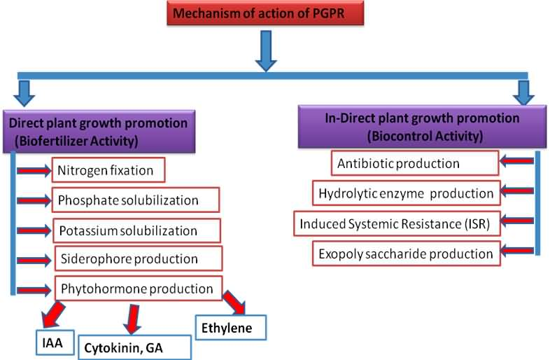 thesis on plant growth promoting rhizobacteria