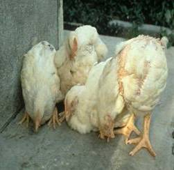 Parasites affected chicken