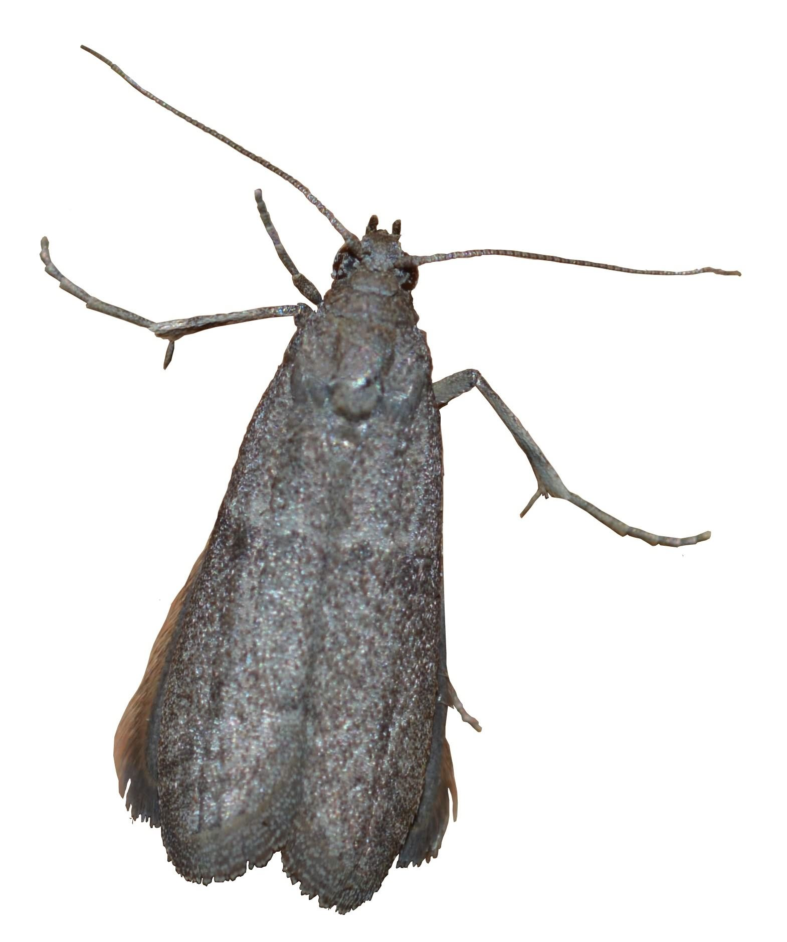 Figure 2. Cadra cautella adult