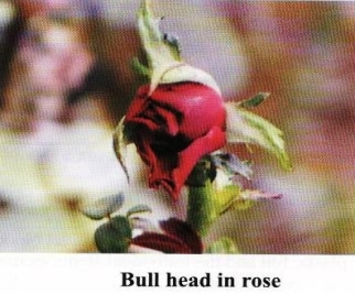 Bull head buds of Rose