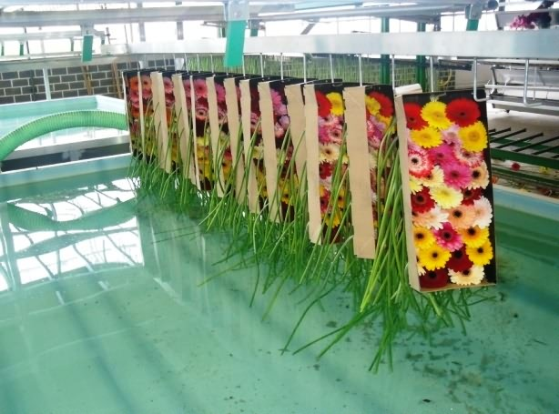 Export packaging of gerbera cut flower-Dipping of gerbera stem in water