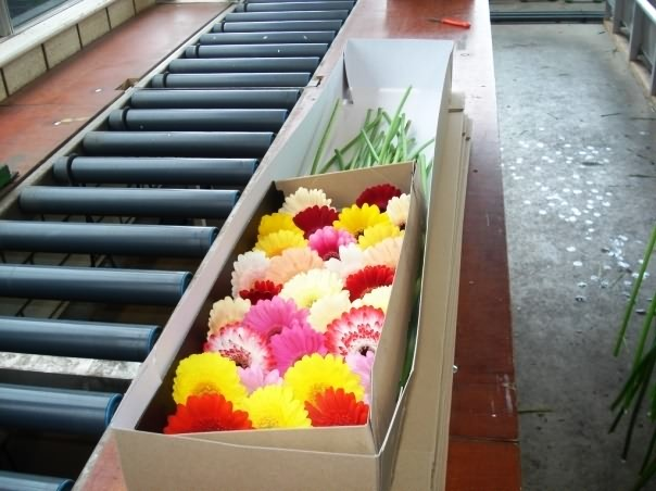 Export packaging of gerbera-Corrugated box on conveyer belt