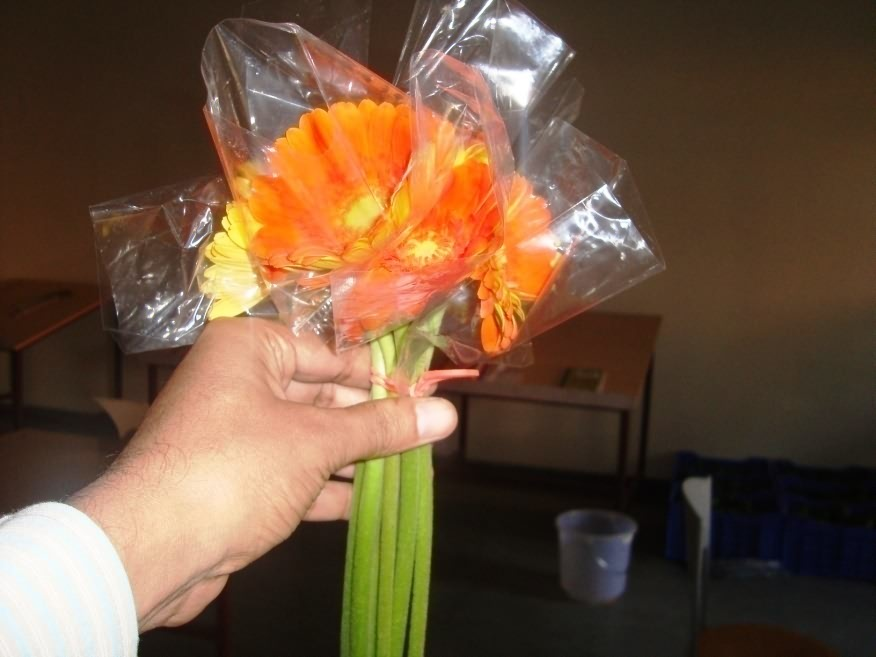 Gerbera flowers covered with polythene sleeves