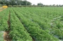 Drip irrigated Tomato crop