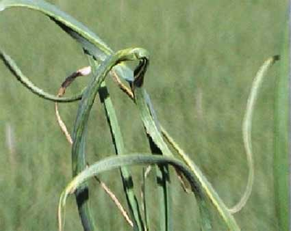 Twisted garlic leave due to A. tulipae damage