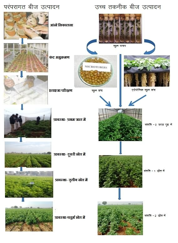 flow chart of traditional method and improved method of potato seed production