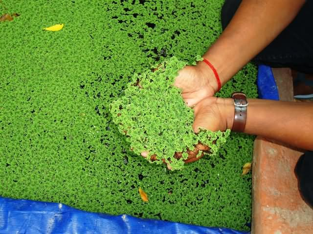 Azolla fern can be used as fodder