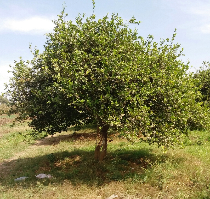 Citrus fruit cultivation in Malwa