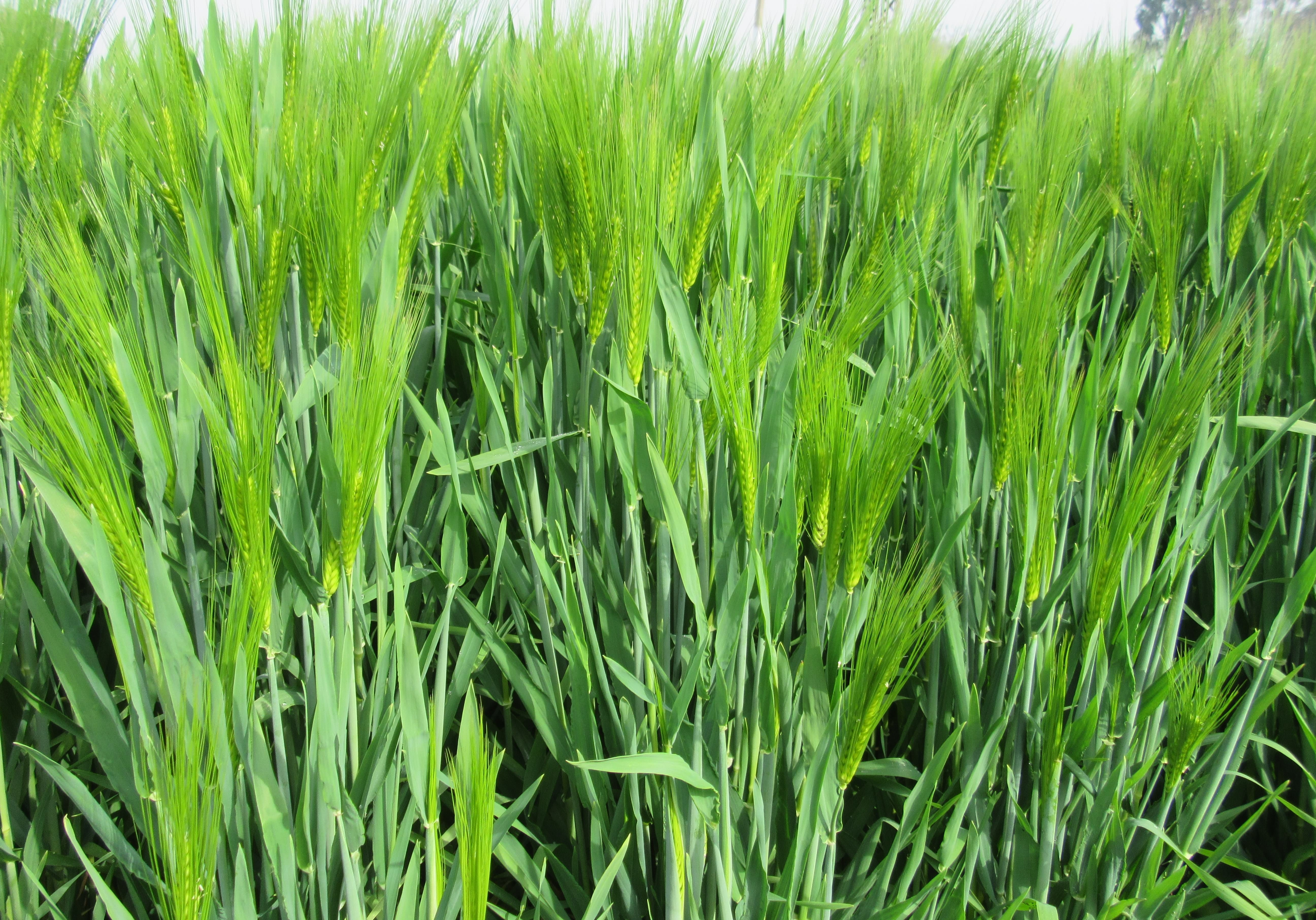 DWRB.137: Barley's high productive, anti yellow-rustic and six-line new variety