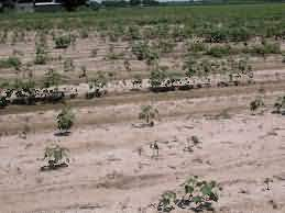 Cotton field infested with Root Knot Nematode