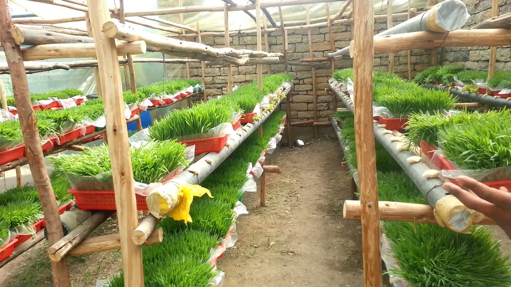 Fodder production using hydroponic agriculture