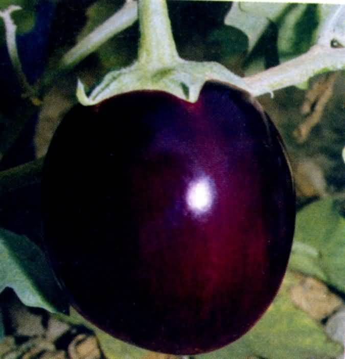 how to grow brinjal from seeds in hindi